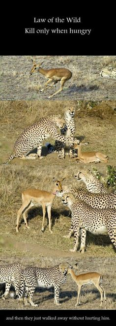 Law Of The Wild, Kill Only When Hungry,  Click the link to view today's funniest pictures!