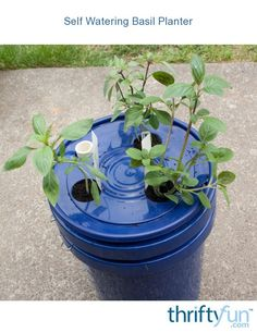 Making a Self Watering Basil Planter Basil likes to be watered regularly. Make this a little easier by planting in a self watering container. Making a self watering basil planter is easy and will keep your basil heathy and ready for any recipe. Garden Watering System, Self Watering Plants, Self Watering Containers, Aquaponics Supplies, Aquaponics Kit, Indoor Aquaponics, Hydroponics, Garden Tool Shed, Garden Tool Storage