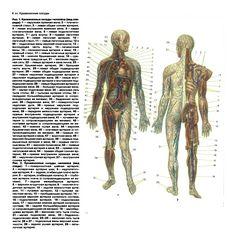 Кровеносные сосуды человека (вид спереди, вид сзади; постер).