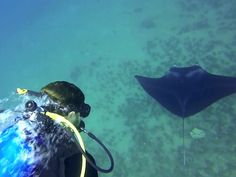 DIVER CHRIS CILFONE DIVES WITH GIANT MANTA RAYS THAT GROWS UP TO 25 FEET AT HAWAII!