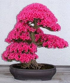 Bonsai is the art of keeping miniature trees. These are flowers bonsai tree, which look huge and great in any color.The bonsai tree is a great creature of God. Ikebana, Plantas Bonsai, Bonsai Seeds, Tree Seeds, Bonsai Azalea, Wisteria Bonsai, Bougainvillea Bonsai, Japanese Bonsai Tree, Succulents