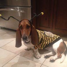 Basset hound- Maisy- Halloween costume.