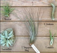 Air plants are plants that use their roots to attach themselves to ...