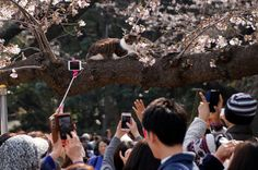 People take pictures of a cat sitting on a cherry blossom tree at a park in Tokyo, Japan. (Toru Hanai / Reuters) http://pow.photos/2017/international-pow-28-march-3-april/
