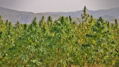 IS INDUSTRIAL HEMP THE ULTIMATE ENERGY CROP? Thomas Prade, Swedish University of Agricultural Sciences Bioenergy is currently the fastest growing source of renewable energy. Cultivating energy crops on arable land can decrease dependency on d…