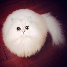 It's no secret that the Internet loves #cats, and this fluffy white feline marvelously appears perfectly round. And what makes this viral picture even funni