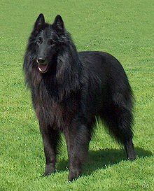 Belgian Sheepdog Also known as the Groenendael and Chien de Berger Belge, during WWI these dogs became popular on the battlefields, carrying messages, serving as ambulance dogs, and even pulling machine guns as needed. http://www.akc.org/breeds/belgian_sheepdog/did_you_know.cfm