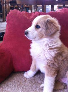 scotch collie dog photo | Scotch Collie Puppy