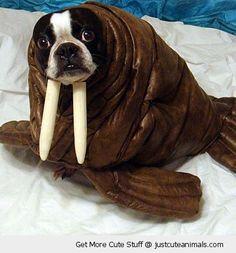 Pet Costumes: The Weirdest Halloween Animals of Halloween Costume Pets: Walrus Terrier Funny Dogs, Cute Dogs, Funny Animals, Cute Animals, Happy Animals, Pet Halloween Costumes, Pet Costumes, Costume Ideas, Costume Contest