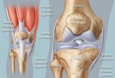 The knee. Anatomy in Motion https://m.facebook.com/profile.php?id=147107135344108&_mn_=11