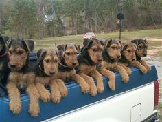 so many airedales! :)