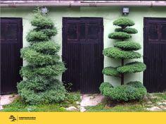 Interesting idea of cutting trees and bushes Boxwood Garden, Topiary Garden, Bonsai Garden, Garden Pots, Outdoor Topiary, Japanese Plants, Small Yard Landscaping, Garden Inspiration, Beautiful Gardens
