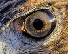 This is a close-up of the eye of a Red Tail Hawk Beautiful Birds, Animals Beautiful, Animal Photography, Nature Photography, Animal Close Up, Hawk Feathers, Eyes Without A Face, Hawk Bird, Wild Eyes
