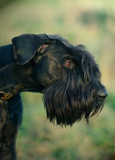 Giant Schnauzer Dogs Puppy Hound Pups Dog Puppies