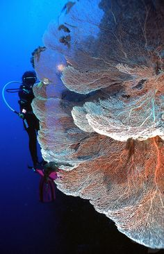 Diver over fan coral, Guenther Deichmann Photography.  He has workshops in Asia, Australia.  Hmmm.