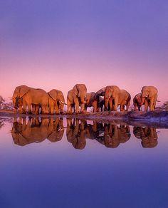 African elephants at waterhole, Loxodonta africana, Chobe National Park, Botswana Photographie National Geographic, National Geographic Photography, Wildlife Photography, Animal Photography, National Geographic Animals, National Geographic Travel, Elephant Images, Elephant Love, Elephant Family