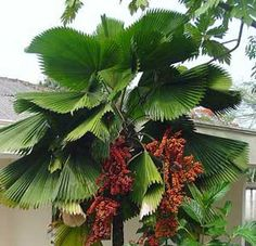 10 fresh seeds of this beautiful Licuala grandis or Ruffled fan leaf palm. Palm Garden, Garden Trees, Tropical Garden, Tropical Plants, Garden Plants, Tropical Landscaping, Landscaping Plants, Palm Plant, Trees To Plant