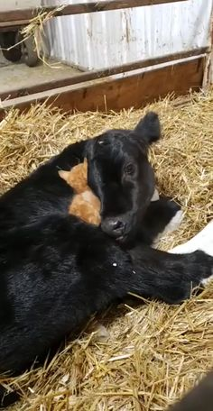 New York Discover Snuggle buddies Cute Little Animals, Cute Funny Animals, Cute Cats, Cute Animal Videos, Funny Animal Pictures, Farm Animals, Animals And Pets, Photo Chat, Animal Memes