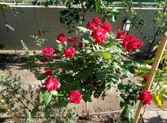 My Red Simplicity #gardening #garden #gardens #DIY #landscaping #home #horticulture #flowers #gardenchat #roses #nature