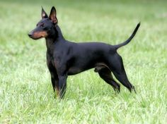 ... Breeds Toy Manchester Terriers Photo : Manchester Terrier Dogs Breeds