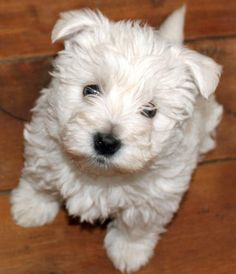daily puppy westhighland terrier