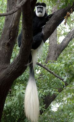 Colobus monkey | Flickr - Photo Sharing! A lone black and white male Colobus monkey sit in a tree at Nehru Zoological Park in Hyderabad.