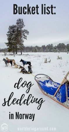 Bucket list activity: Dog sledding in Norway - where to go dog sledding to have a happy Husky safari? Norway winter travel, things to do in Norway, Norway bucket list | Worldering around #Norway #huskysafari #dogsledding