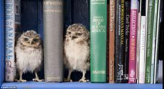Orphaned baby burrowing owlets, Linford and Christie, making themselves at home in their wildlife park keeper's  home.