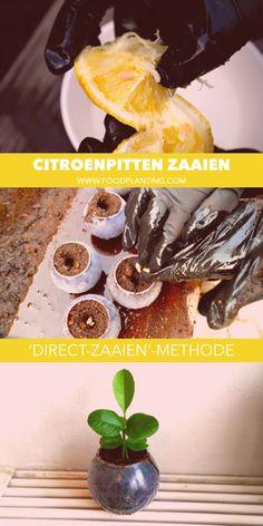 Citroenpitten van supermarkt citroenen planten om zelf citroenbomen te kweken! Een leuk DIY project voor jong en oud. De 'direct-zaaien'-methoden voor het kweken van citroenplanten uit citroenzaden. Grow your own lemon tree from lemon seeds with this easy and fun method!