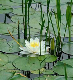 Fotar como esa flor en el agua debe ser lo maximo tanto como sentir tu amor