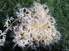 2013年9月15日 彼岸花  今年は白い花が目立ちます!!