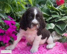 Mandy - English Springer Spaniel Puppy for Sale in Ronks, PA - English Springer Spaniel - Puppy for Sale