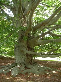 Great old tree at Brenton Point Park in Newport, RI