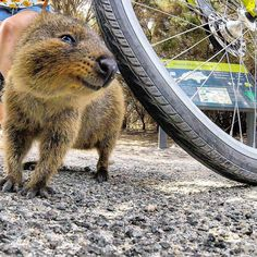 Man Meets Quokka Whilst out Riding His Bike, Quokka Refuses to Leave Him Alone - BlazePress