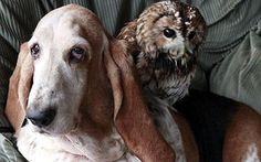 Meet an owl and a Bassett Hound who struck up an unusual friendship over the shared hobby of watching television: The pair have become inseparable since meeting at an animal refuge, and are quite happy to cuddle up together on an armchair.Beryl the Basset Hound, who is a grand old dame at 16 years old, and four-year-old tawny owl Wol struck up a friendship when their owner realised they both loved watching television in the evenings.