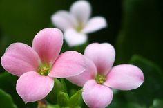 pink by redlion