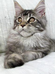 Maine Coon 16 weeks - what our Bootsie looked like when he was younger