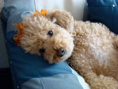 The truths that only #poodle owners know and understand