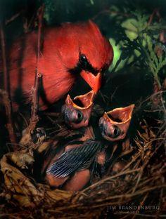 Cardinal Nest by Jim Brandenburg