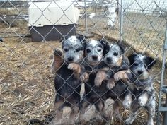 Blue Heelers...i want to take them all home!