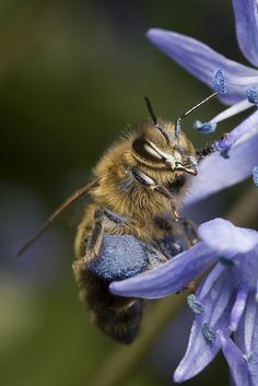 Honey Bee - known for its flower constancy- this bee collects only blue pollen from this spicies of flower.