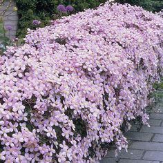 Clematis Montana 'Rubens' - Clematis are well known for being one of the…