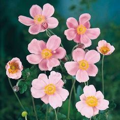 Anemone hupehensis 'Pink Saucer' plant flowers in spring.   The spreading clumps of healthy, attractive dark green foliage produce showy, 2 ½ inch silvery pink flowers on 36-40 inch branching stems. Flowers from August to October. Easy to grow, 'Pink Saucer' Anemone is Winter hardy to zone 4.