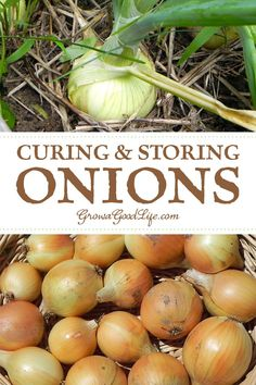 Curing & Storing Onion Curing onions before storing allows the outer layers to dry out and tighten forming a protective wrapping around the bulb.Onions cure best in a shaded, dry, and cool place.