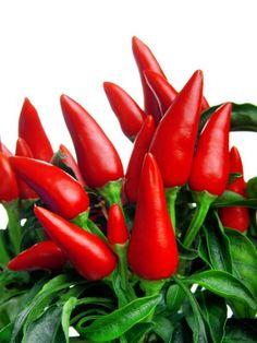 Návod na pěstování chilli papriček pro začátečníky | Dům a zahrada - bydlení je…