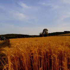 Golden wheat Kibbutz Megiddo