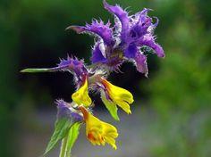 Melampyrum nemorosum. www.planthalia.ro