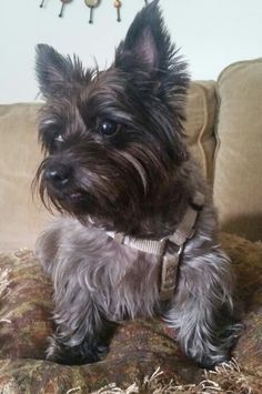 Roxy the Cairn Terrier