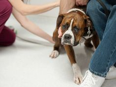 Why Do Veterinarians Still Take Rectal Temperatures? | petMD