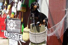 Posing on a Post by Crusoe the Celebrity Dachshund, via Flickr